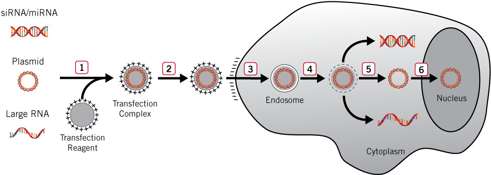 chemical transfection of eukaryotic cells